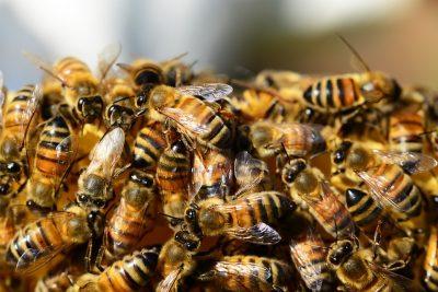 apis tinctuur hele bijen